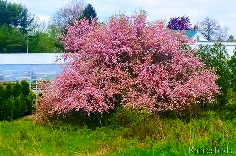 5. flowering tree 430 bath road 5-18-15a