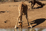 Giraffe drinking – Mhkuze Game Reserve