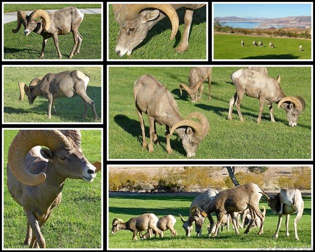 2015 Desert Bighorn Sheep