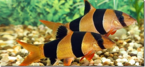 be-ca-canh-clown_loach_cacheohe_cachuotbasoc001-be-thuy-sinh