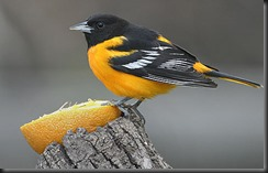 First Oriole of the year!