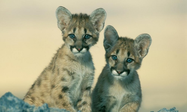 Western cougar cubs. Their eastern cougar cousins have not been sighted since 1938 according to a US Fish and Wildlife Service review. Photo: Kevin Schafer / Getty Images
