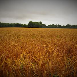Amber Waves Of Grain by Brant Stevenson - Landscapes Prairies, Meadows & Fields ( field, open, amber, beautiful, grain )