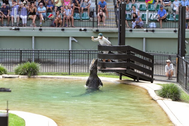 Saltwater Crocodiles - one of the star attractions of Australia Zoo, Sunshine Coast