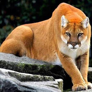 MT-Lion 1_pe_pe.jpg