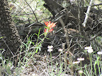 Indian Paintbrush - Peppersauce Canyon 5/6