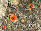 Desert Mariposa Lily - AZ Trail 4/16