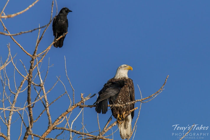 Two crows raise a ruckus at a Bald Eagle at Cherry Creek State Park, Colorado.  (© Tony's Takes)