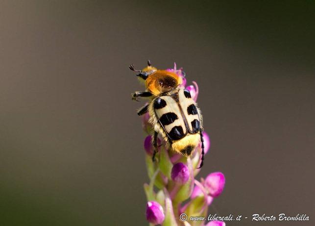 4_Trichius rosaceus_Resinelli006 (FILEminimizer)