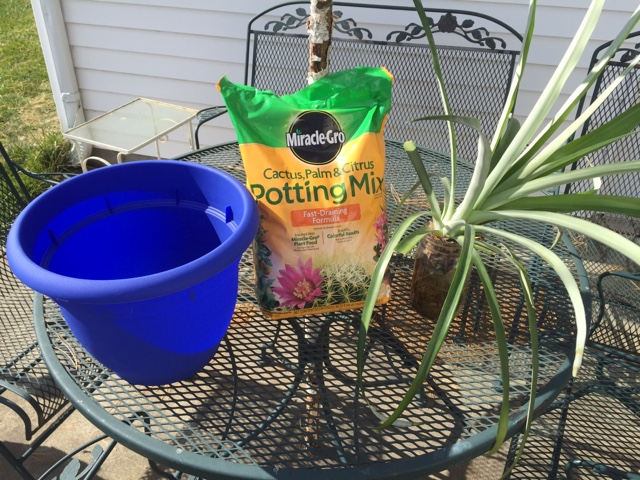 potting up a pineapple that has been rooting in water