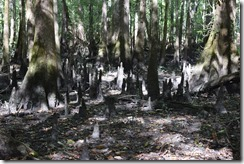 Cypress knees-1