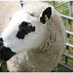 Sheep06.jpg