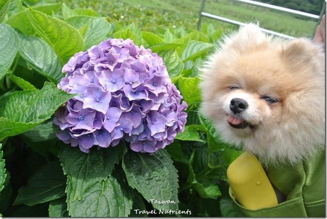陽明山繡球花 (4)