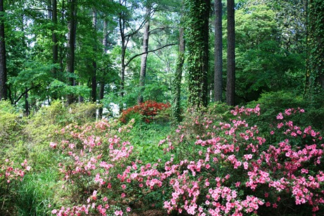 still a few azaleas blooming