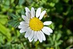 Gewöhnliche Wucherblume