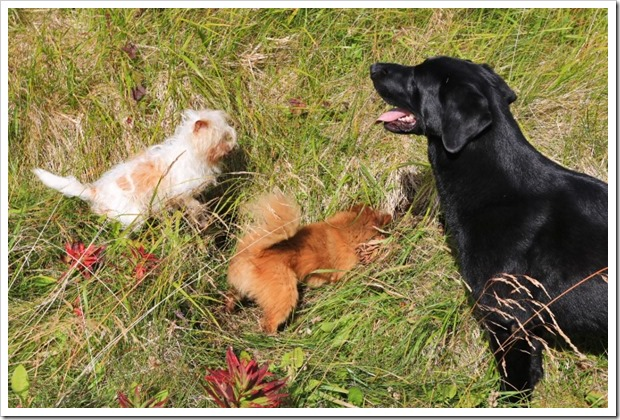 150910_Adak_dogs