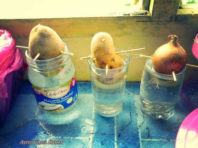 bawang besar dan kentang