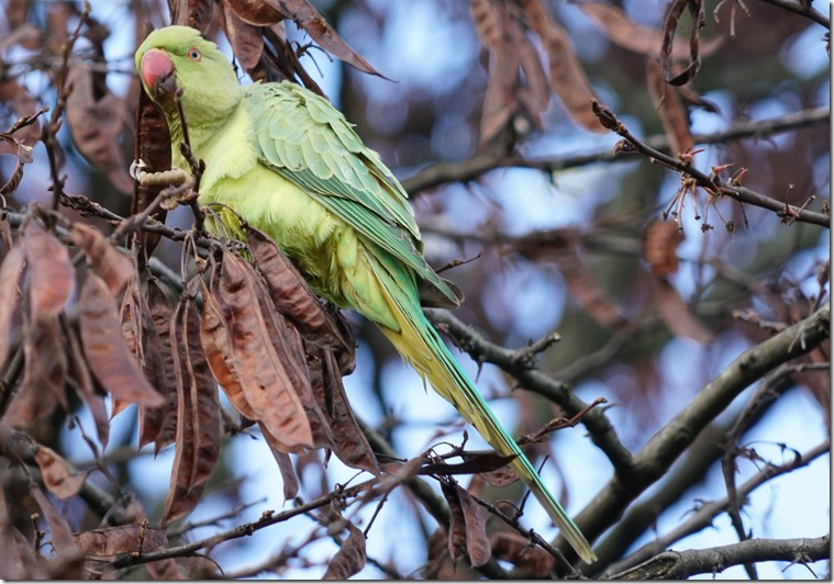 paris parrot 111815 00012