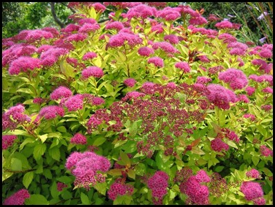 mahic carpet spirea
