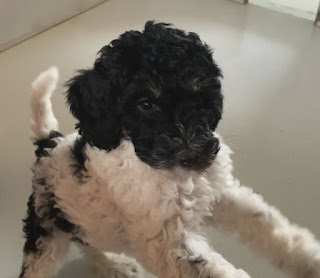 A Bernedoodle with a labradoodle is a gorgeousdoodles puppy dog.