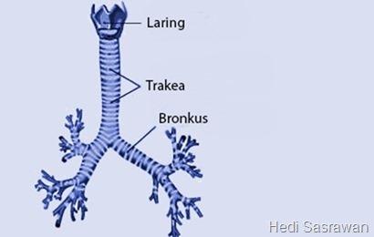 fungsi bronkus