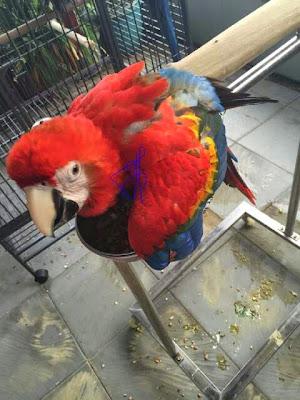 jual macaw scarlet
