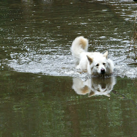 Taking a dip by Ingrid Anderson-Riley - Animals - Dogs Playing (  )