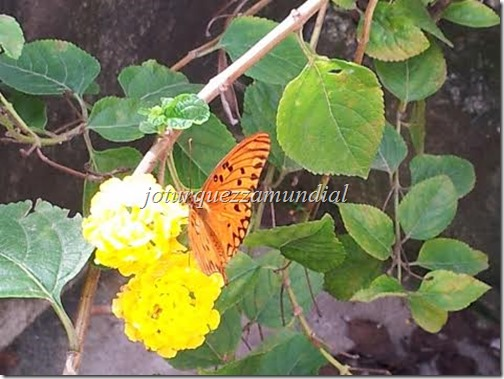 blog mundial - borboleta na lantana 2