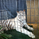 A white tiger at Navy Pier Park in Chicago 01152012c