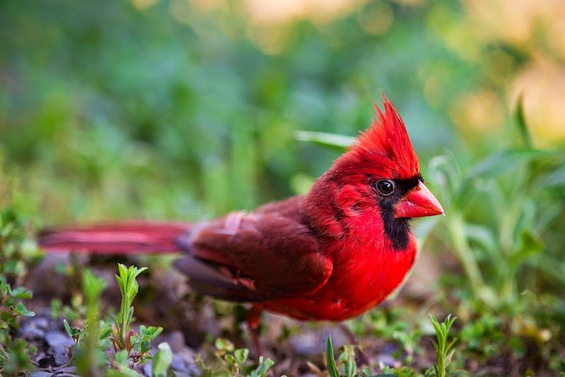 Cardinal-8567