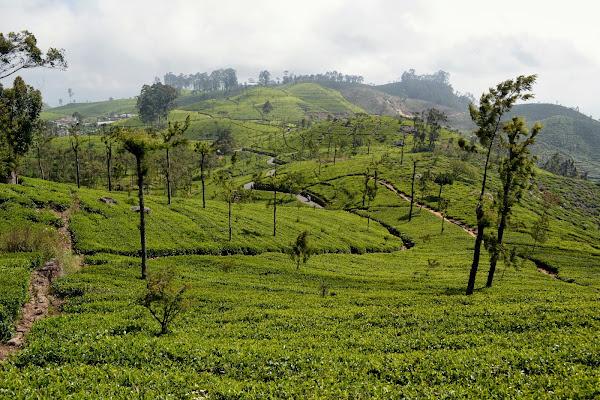 цейлон, чайные плантации, шри-ланка,