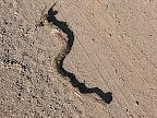 rattlesnake carcass fell from bird