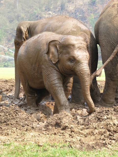 Adorable baby Faa Mai playiing around in the mud.