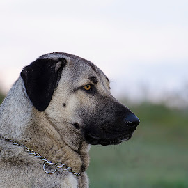early morning by Barbara Springer - Animals - Dogs Portraits ( looking right, looking to side, head profile, beige, big, dog,  )