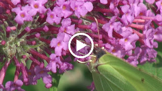 De nectar van de Vlinderstruik trek veel vlinders o.a. deze Citroenvlinder
