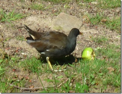 4 moorhen and apple