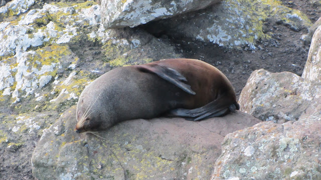 A sleepy fur seal resting on the rocks.
