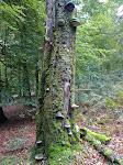 """Zunderpilz ... im Naturschutzgebiet bitte nicht """"ernten"""" !!"""