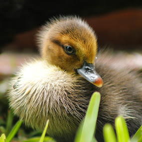 Little Fuzz by Debra Martins - Animals Birds ( bird, nature, duckling, duck, wildlife, animal )