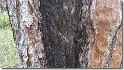 Cat faced pine closeup