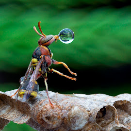 Wasp Blowing Water Bubble 170216 by Carrot Lim - Animals Insects & Spiders ( reflection, macro, wasp, water bubble, colors )