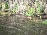 Alligator at Barefoot Landing in Myrtle Beach - 04