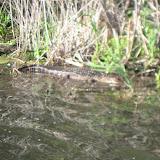 Alligator at Barefoot Landing in Myrtle Beach - 04