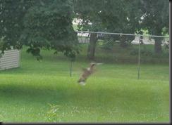 Darting around the yard