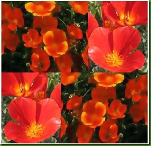 Mikado California Poppies