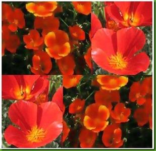 Mikado California Poppies