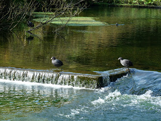 Coots on River Lathkill