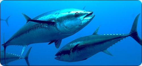 Oda al atún para que no desaparezca.