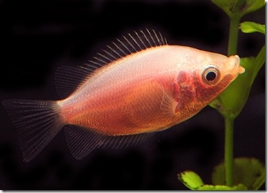 be-ca-canh-kissing_gourami_camui_cahuong002-be-thuy-sinh