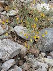 Low Rattlebox - Buehman Canyon